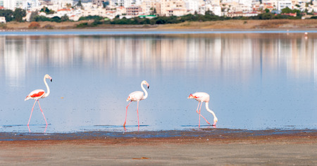flamingo: Group of Flamingo birds with reflections walking in the Salt lake of Larnaca, Cyprus Stock Photo