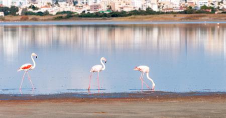 flamenco ave: Grupo de p�jaros del flamenco con las reflexiones que caminan en el lago salado de Larnaca, Chipre Foto de archivo