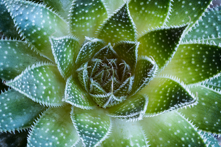Abstract details of a green Aloe aristata   Succulent plant forming beautiful textures