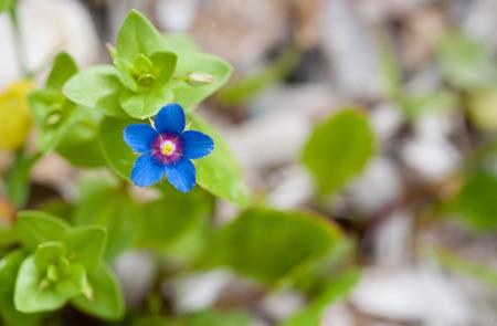 arvensis: Beautiful Anagallis arvensis or Scarlet pimpernel flower plant from wild flowers of Cyprus