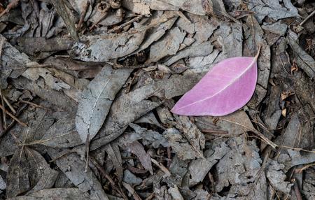 dode bladeren: Single violet blad op de grond met loof van dode bladeren.