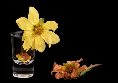 wither: Yellow and orange wither dying dahlia flowers isolated on a black background Stock Photo