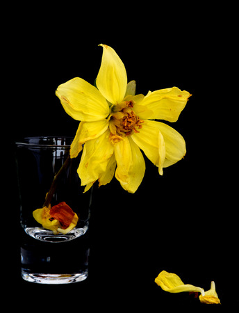lifeless: Withered lifeless dahlia flowers on a small glass and yellow petals on the ground isolated on a black background Stock Photo