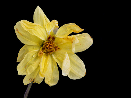 withered flower: Beautiful Yellow  dahlia withered flower with petals isolated on a black background Stock Photo
