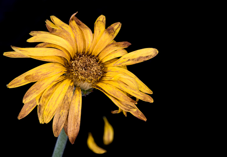 withered flower: Beautiful Yellow  dahlia withered flower with petals isolated  on a black background