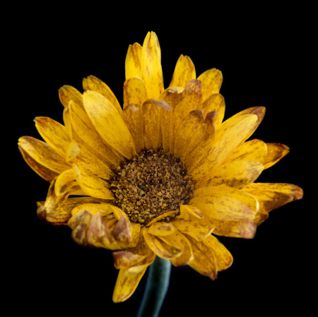 withered flower: Beautiful Yellow  dahlia withered flower isolated on a black background. Concept of nostalgia, melancholy and even death.