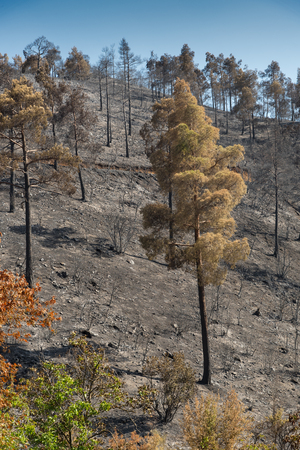 environmental damage: Forest and trees burned after a big forest fire at Troodos mountains in Cyprus which created a big environmental damage.