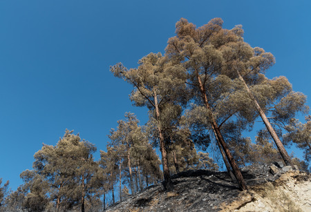 environmental damage: Pine forest trees standing half burned after a forest fire at Troodos mountains in Cyprus which created a huge environmental damage.