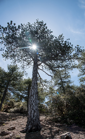 cyprus tree: Sunbeams shining through a big forest pine tree at Troodos mountains Cyprus