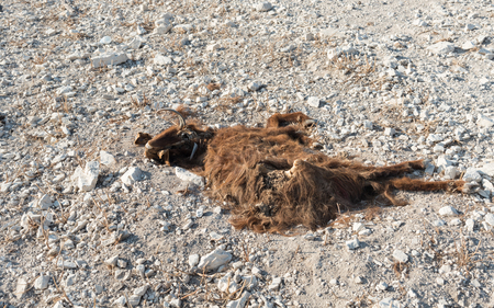 decaying: Flesh of a decaying dead  goat brown animal resting on the ground.