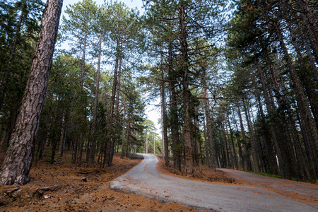 minor: Minor asphalt empty curved road passing through a beautiful forest with tall Pine trees at Troodos mountain in  Cyprus Stock Photo