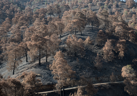 environmental damage: Forest and trees burned after a big forest fire  which created a big environmental damage at Troodos mountains in Cyprus.