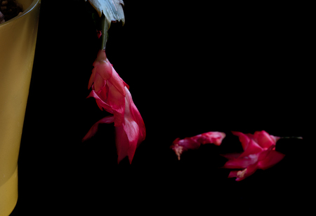 Close-up details of Red Christmas cactus flower,  Schlumbergera truncata cacti ready to fall. Stock Photo