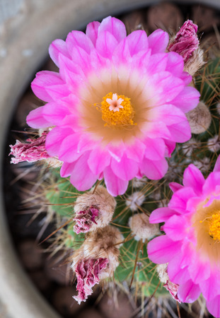 Notocactus Mammulosus cactus with blooming purple flower