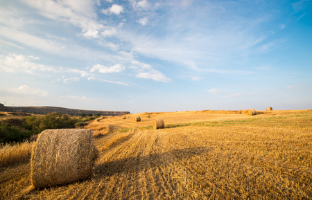 Agriculture field of Round bales of hay after harvesting.  Stock Photo