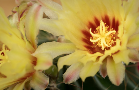 Yellow fresh flower from an astrophytum cactus plant