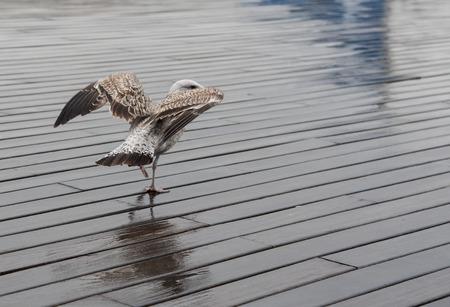 木製の桟橋を歩く美しい白いカモメの鳥