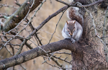 Portrait of a small beautiful cute squirrel sitting on tree branch eating nuts. Stock Photo