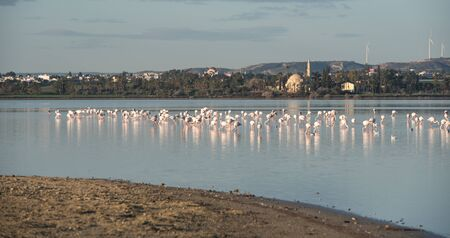 Group of wild Flamingo Birds resting and feeding at the salt lake of the city of  Larnaca, near jala sultan Tekke in Cyprus