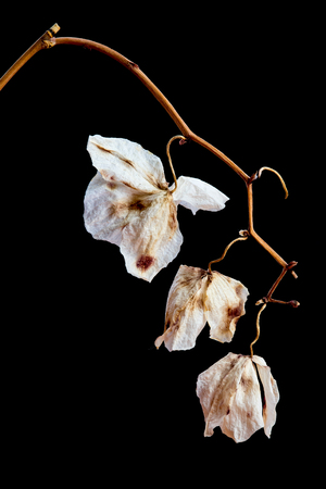 Dead Wilted dry Orchid Phalaenopsis flower blossoms with isolated on black background 写真素材