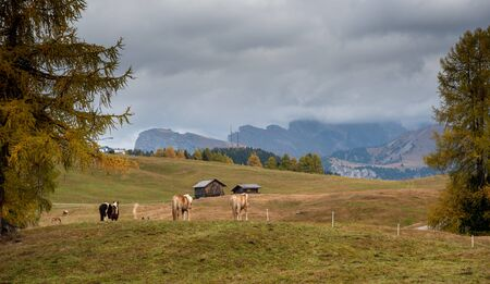 Horses at the fields of  the beautiful Alpe di siusi Seiser Alm in the dolomites  South Tyrol, Italy