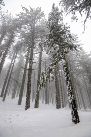 Winter forest landscape with mountain covered in snow and pine trees. Troodos mountains in Cyprus