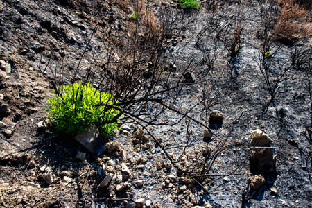 Environmental theme with new green plants growing after forest fire. Troodos mountains Cyprus