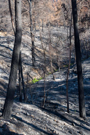Tree logs burned during a massive forest fire in the Troodos mountains of Cyprus. Environmental and ecological destruction.
