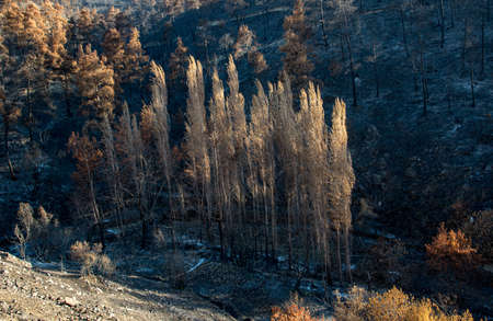Forests and trees burnt during a massive forest fire in the Troodos mountains of Cyprus. Environmental and ecological destruction.