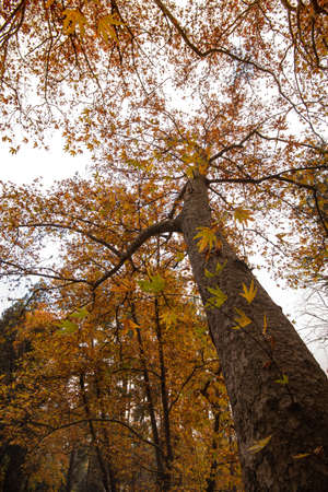 Low angle view of tree trunk tops in Autumn