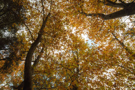 Low angle view of tree trunk tops with yellow leaves in Autumn