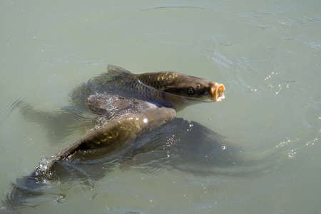 Group of large hungry carps