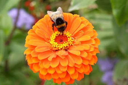 Bee on the orange flower Stock Photo