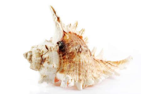 Sea shell, isolated on white background Stock Photo