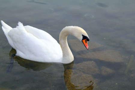 White swan on a lake  Stock Photo