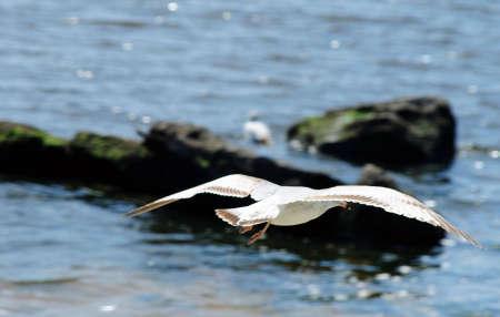 croud: Seagull In Full Flight