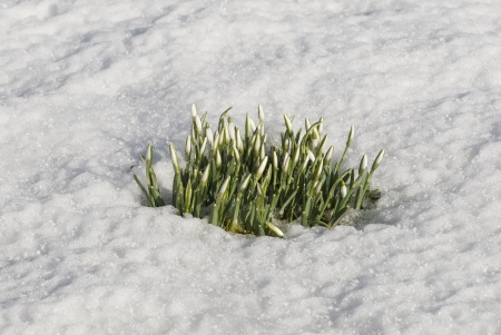emerging: Snowdrops Emerging Through Snow
