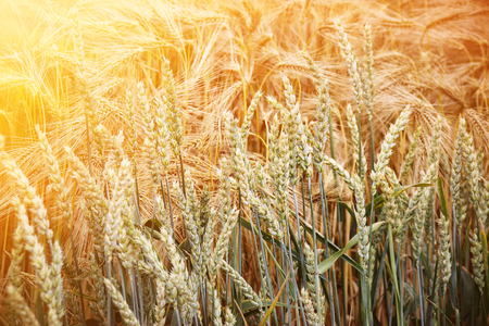 Beautiful view of the field on a sunny day. Wheat - Close up of a wheat field., Sunny Day, Agricultural Field, Growing Wheat, Cultivate Crop, Stock Photo