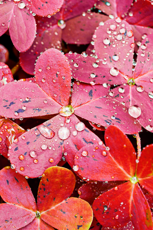 Close up of red oxalis leaves under the rain