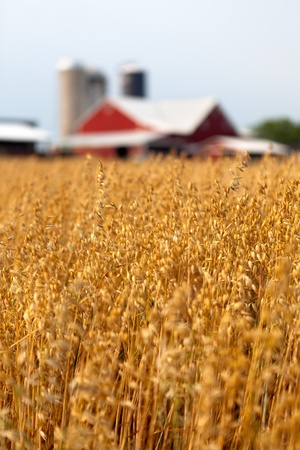 Closeup of oat heads in field, with out of focus oats in foreground and background and an out of focus red barn with forage silos in the background. photo