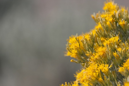 sagebrush: Closeup shot of sagebrush in bloom with half the photo a very out of focus background. Stock Photo