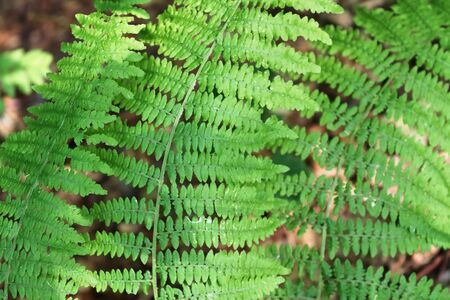 Detailed view on green fern leaves on a forest ground