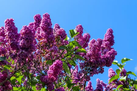 Lilac tree syringa vulgaris in front of a clear blue sky during spring on a sunny day Reklamní fotografie