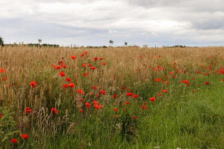 Beautiful red poppy flowers papaver rhoeas in a golden wheat field