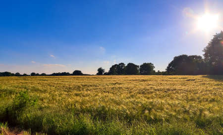Golden wheat field and sunset sky, landscape of agricultural grain crops in harvest season