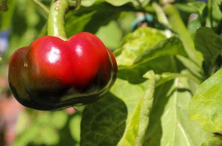 Single red bell pepper (sweet pepper) on a green pepper plant