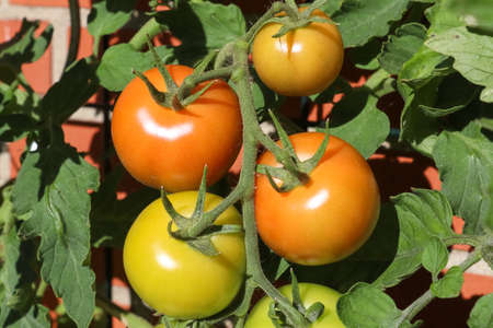 Some big green and red tomatoes on a bush growing at the wall of a house. Agriculture concept.