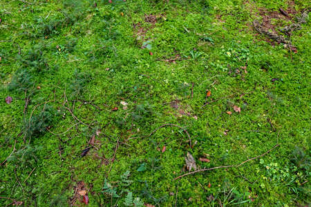 Detailed close up view at moss textures on a forest ground
