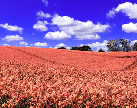 Infra red hyper color shot of flowering rape against a blue sky with clouds. Abstract landscape background with empty space