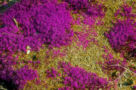Detailed close up view at pink an d purple moss textures on a forest ground